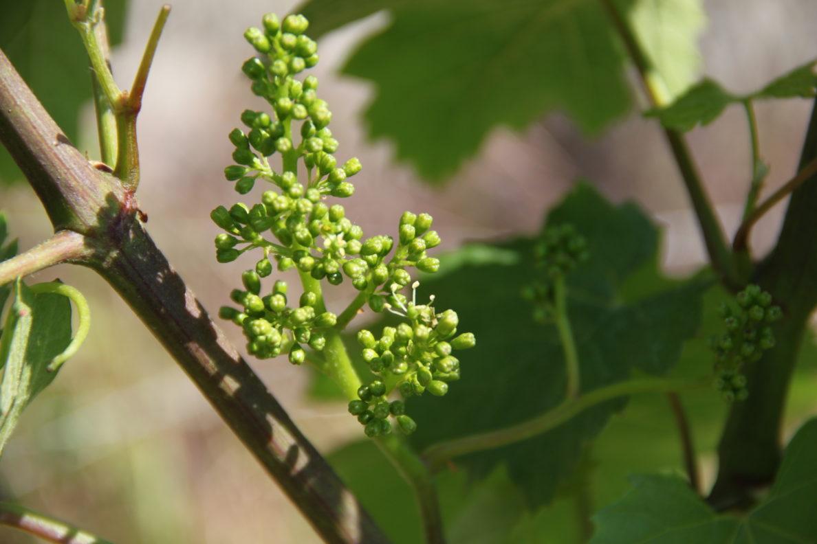 Fleur De Vigne En Magnum